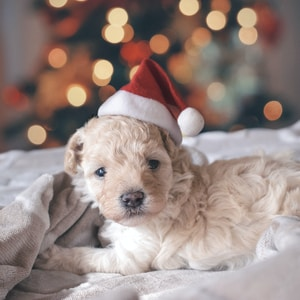 long-coated white puppy wearing santa hat
