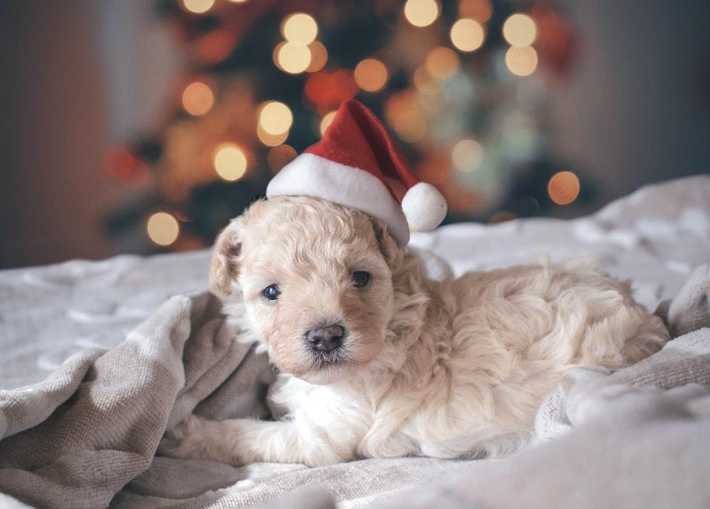 long-coated white puppy wearing santa hat