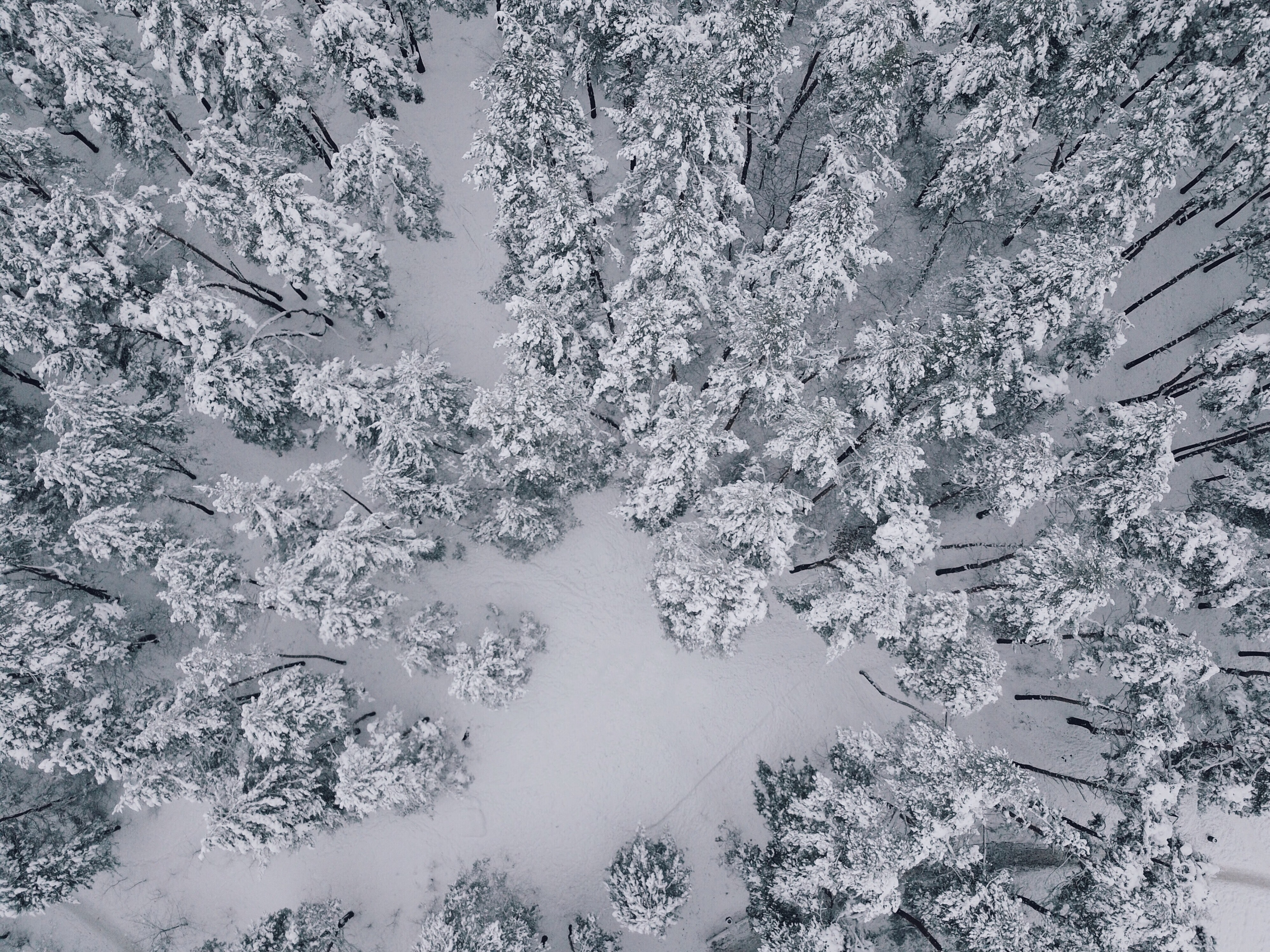 aerial view of pine trees covered with snow