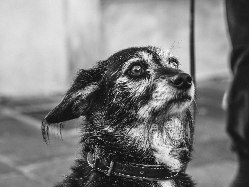 grayscale photo of collared dog