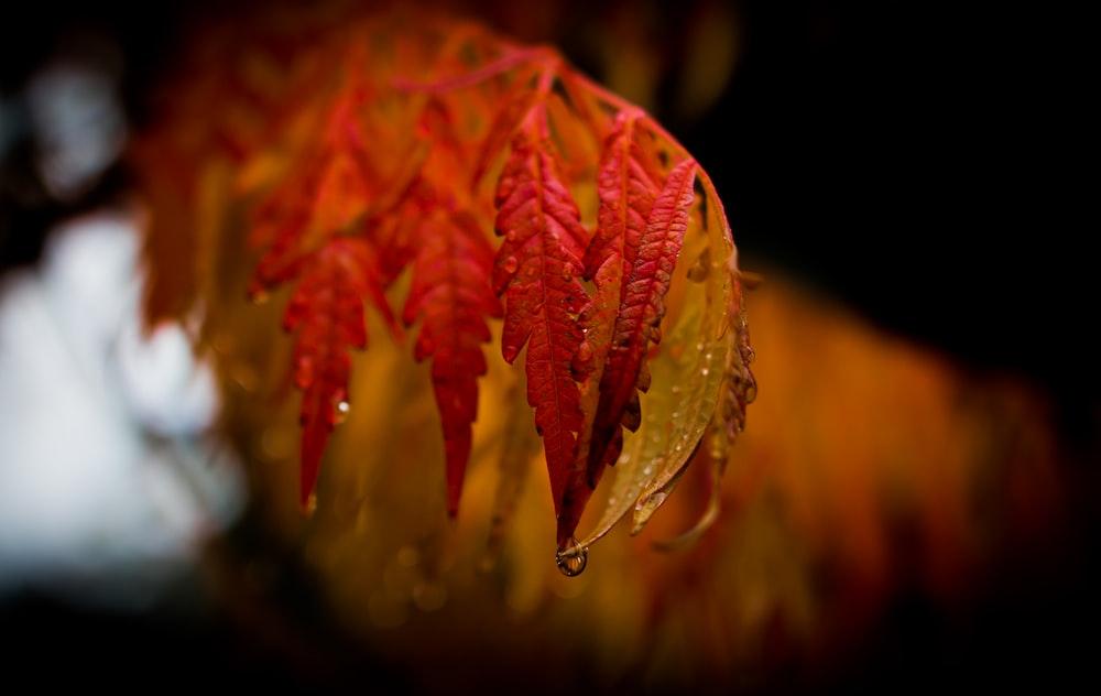 tilt shift lens photography of red leaf