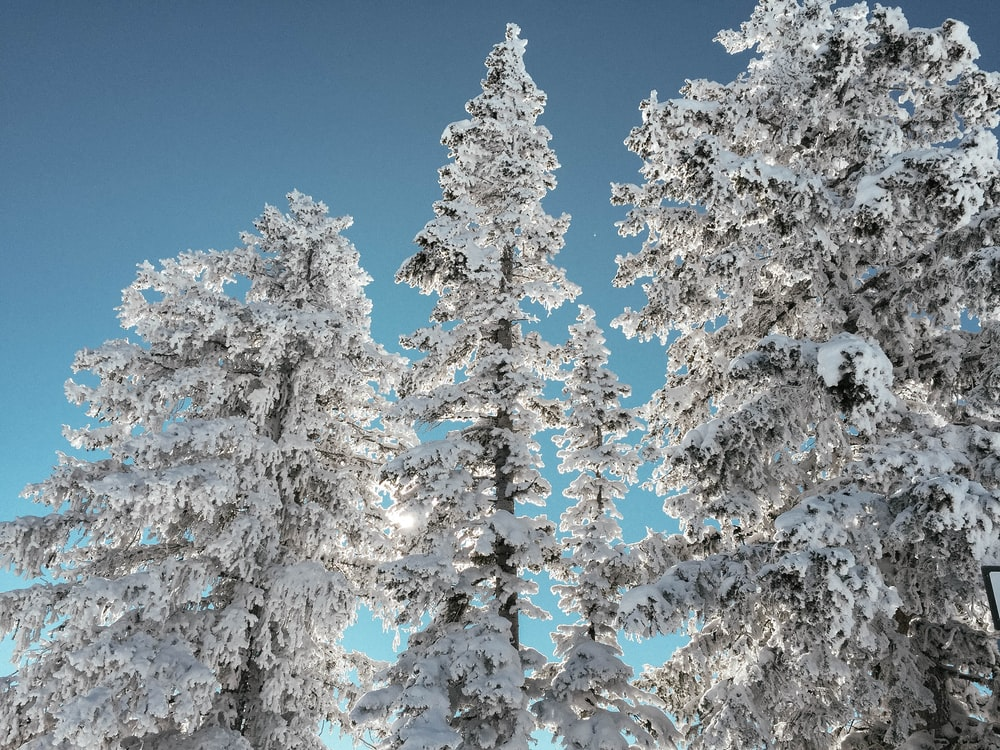 pine trees cover with snow