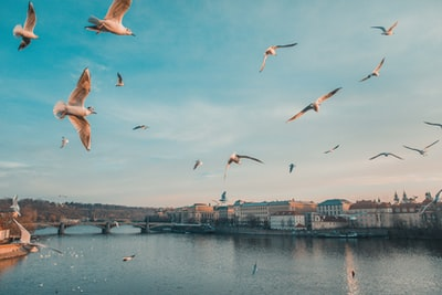 gull flying above body of water prague teams background