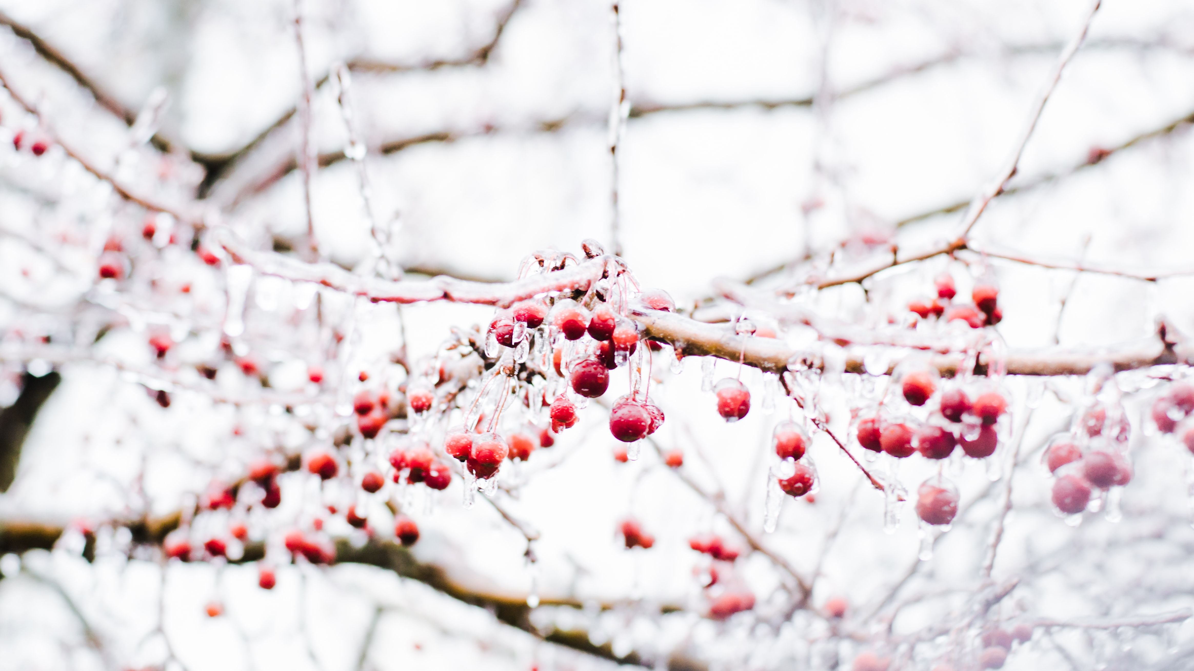 round red fruits on bare tree