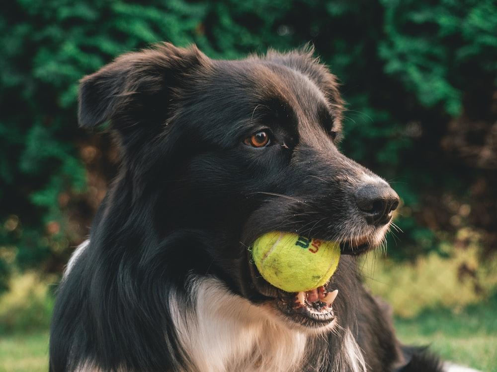 short-coated black dog biting tennis ball