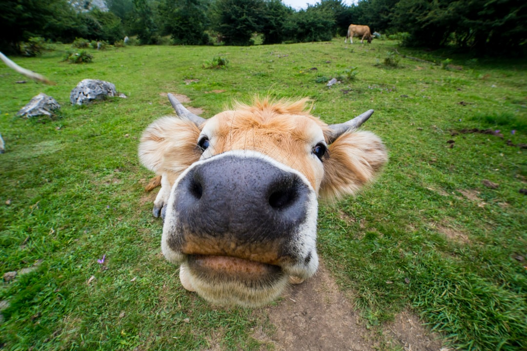 Paseando por uno de los montes de Asturias (España) nos encontramos un grupo de vacas pastando, mientras que otras estaban tumbadas. Me acerqué a una de ellas con el gran angular que llevaba puesto y realicé varias fotos. Este es el resultado de la nariz de la vaca a tan solo un par de centímetros del objetivo.
