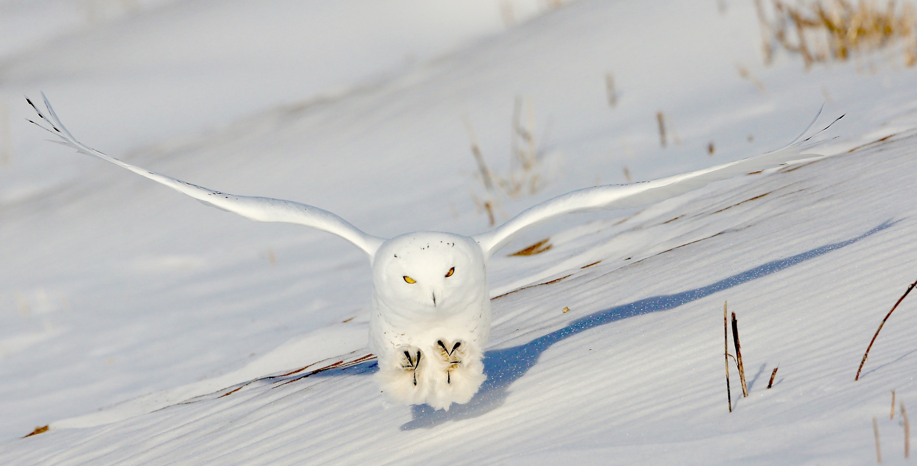 white owl flying above snow ground