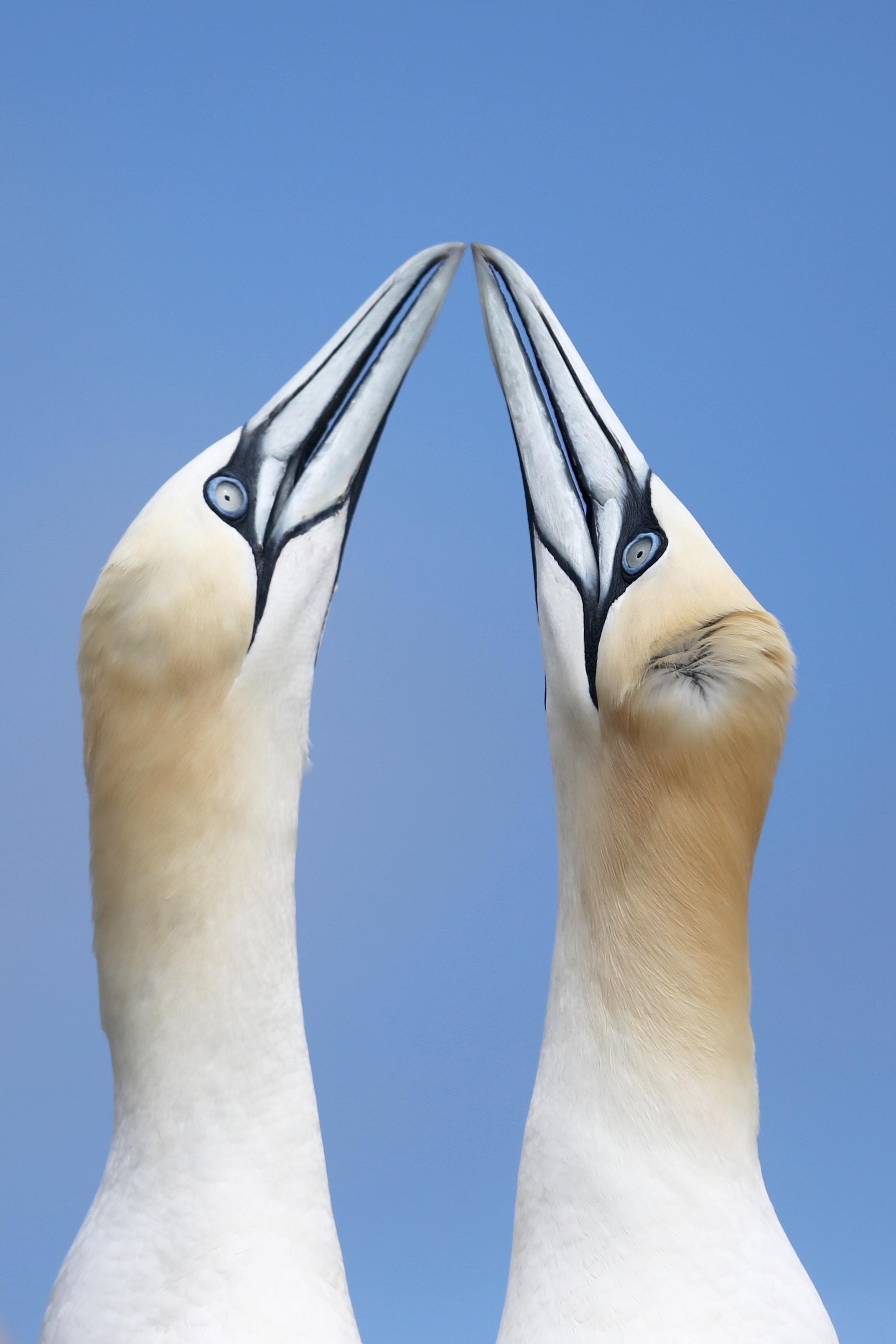 two birds colliding their beaks