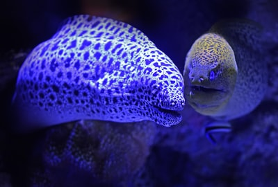 These two moray eels seem to be on friendly terms.