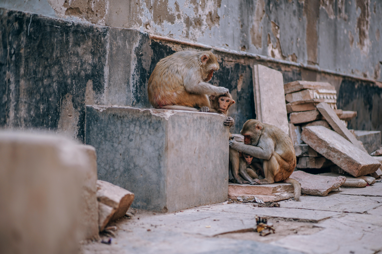 three monkeys lean on concrete wall