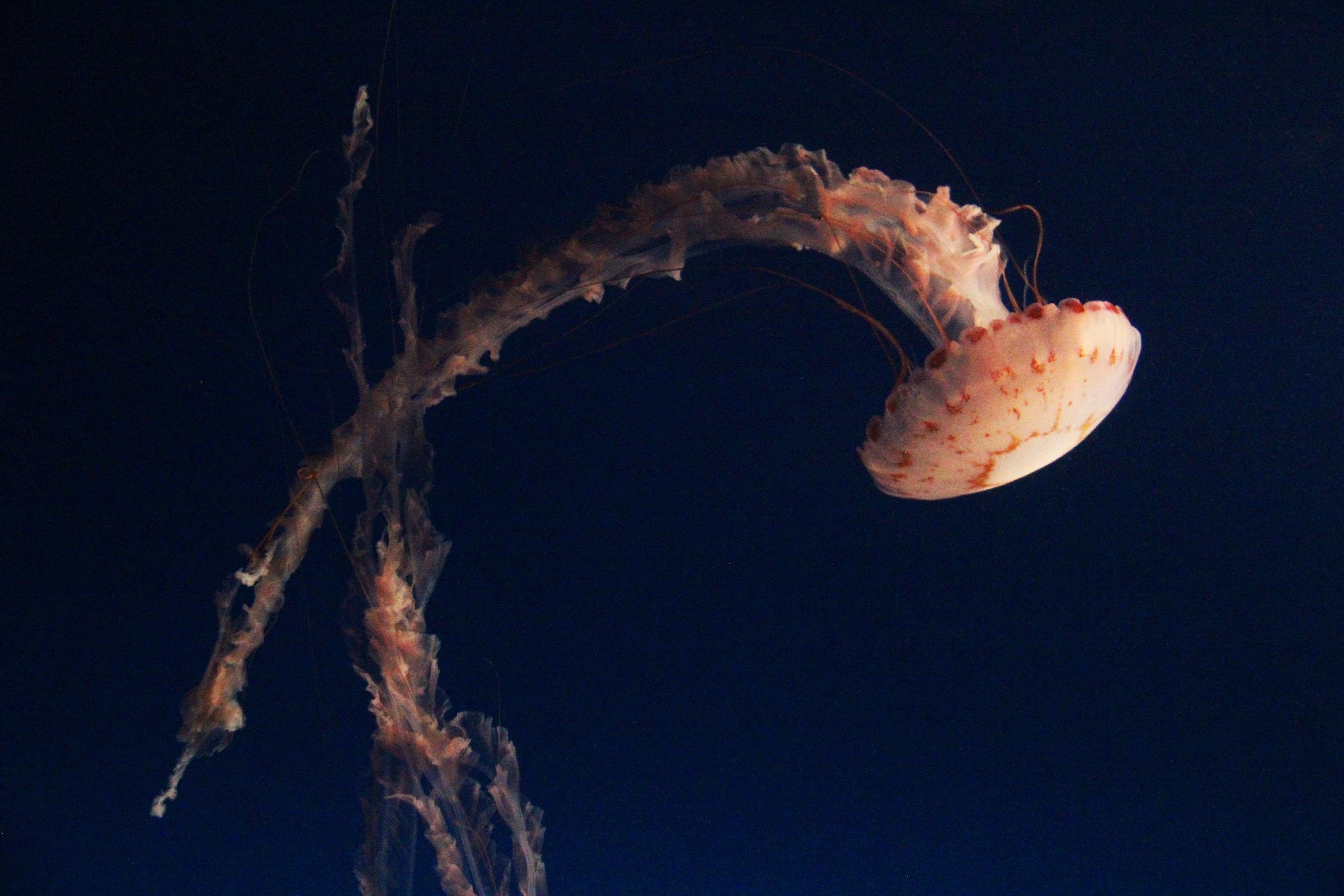 jellyfish in black background