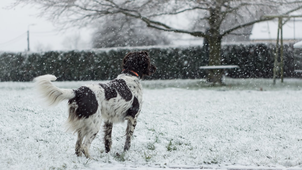 medium short-coated white and black dog standing on snow