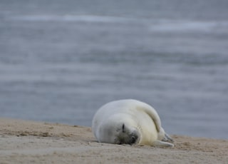white seal lying on brown field