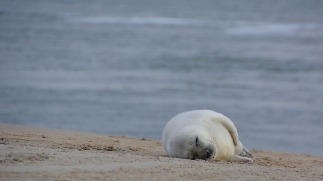 Walking on the beach of Vlieland, we spotted this babyseal. The mother was nearby, watching us….