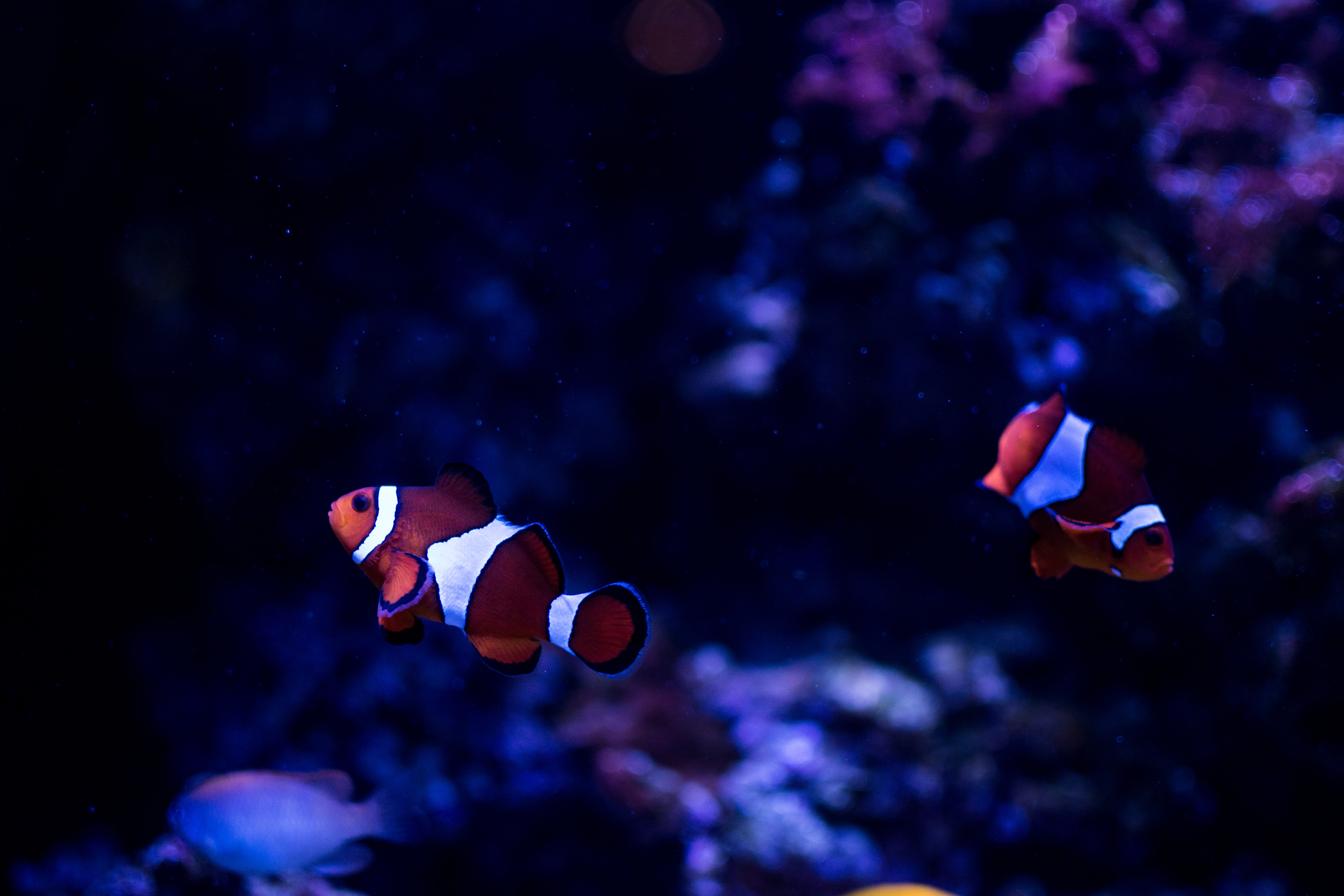 two clown fishes underwater