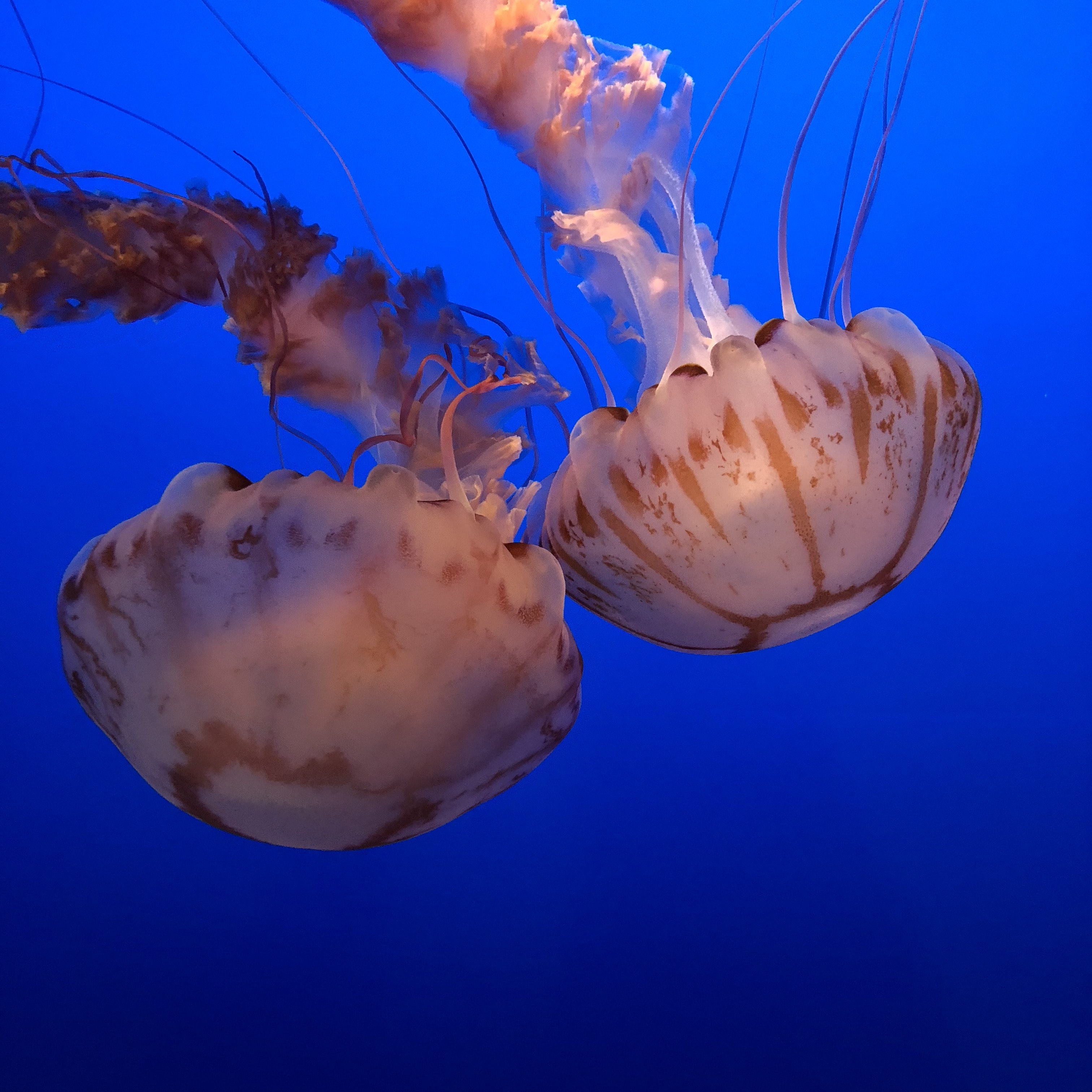 two white and brown jellyfishes