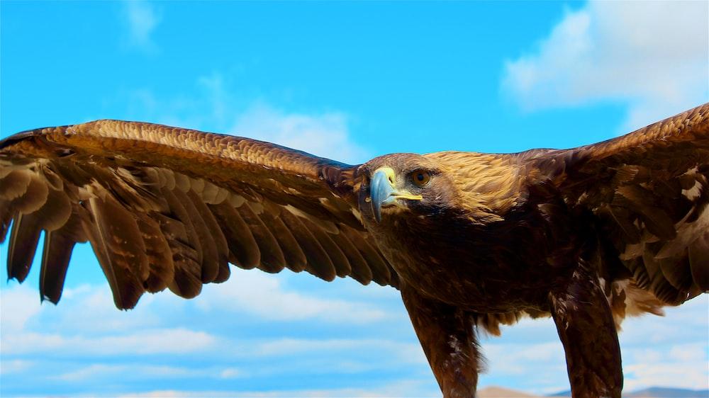 brown and black bald eagle closeup photo