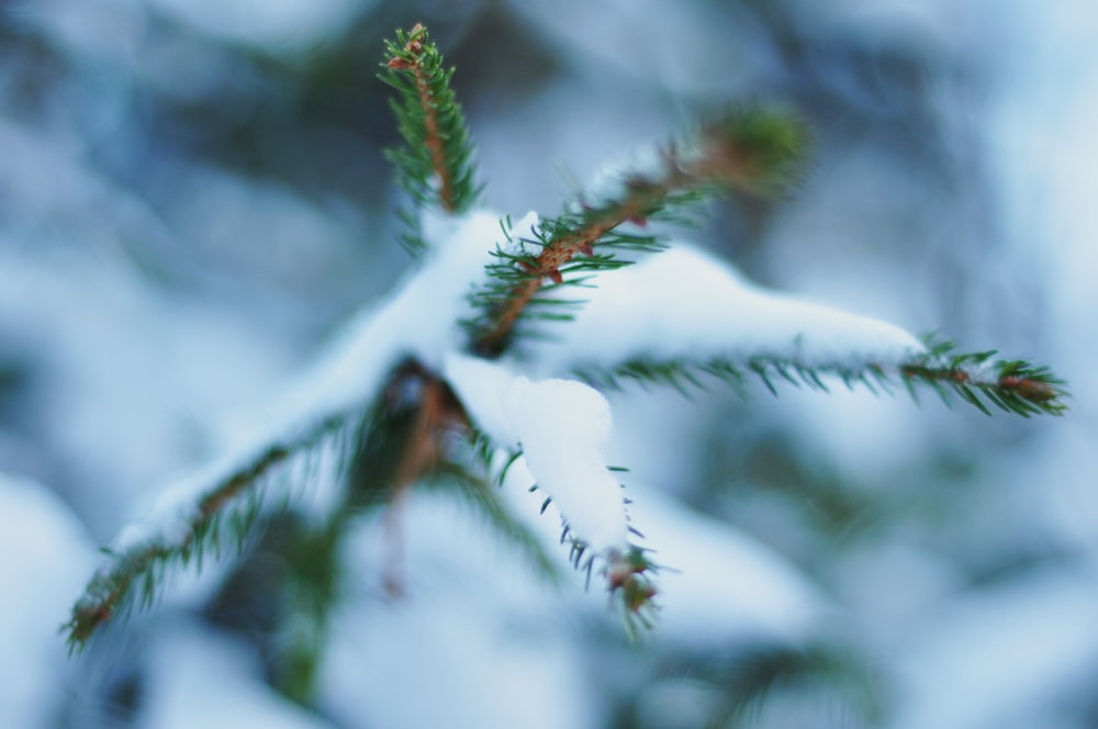 pine tree leaf coated with snow during daytime