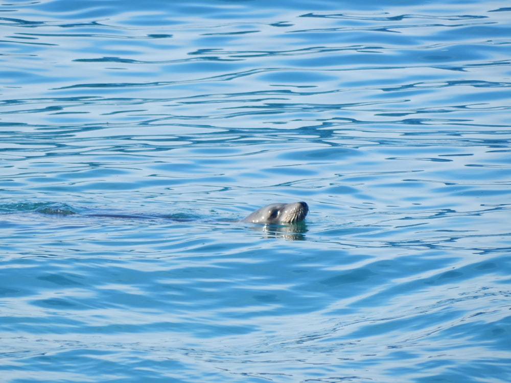 gray seal on body of water