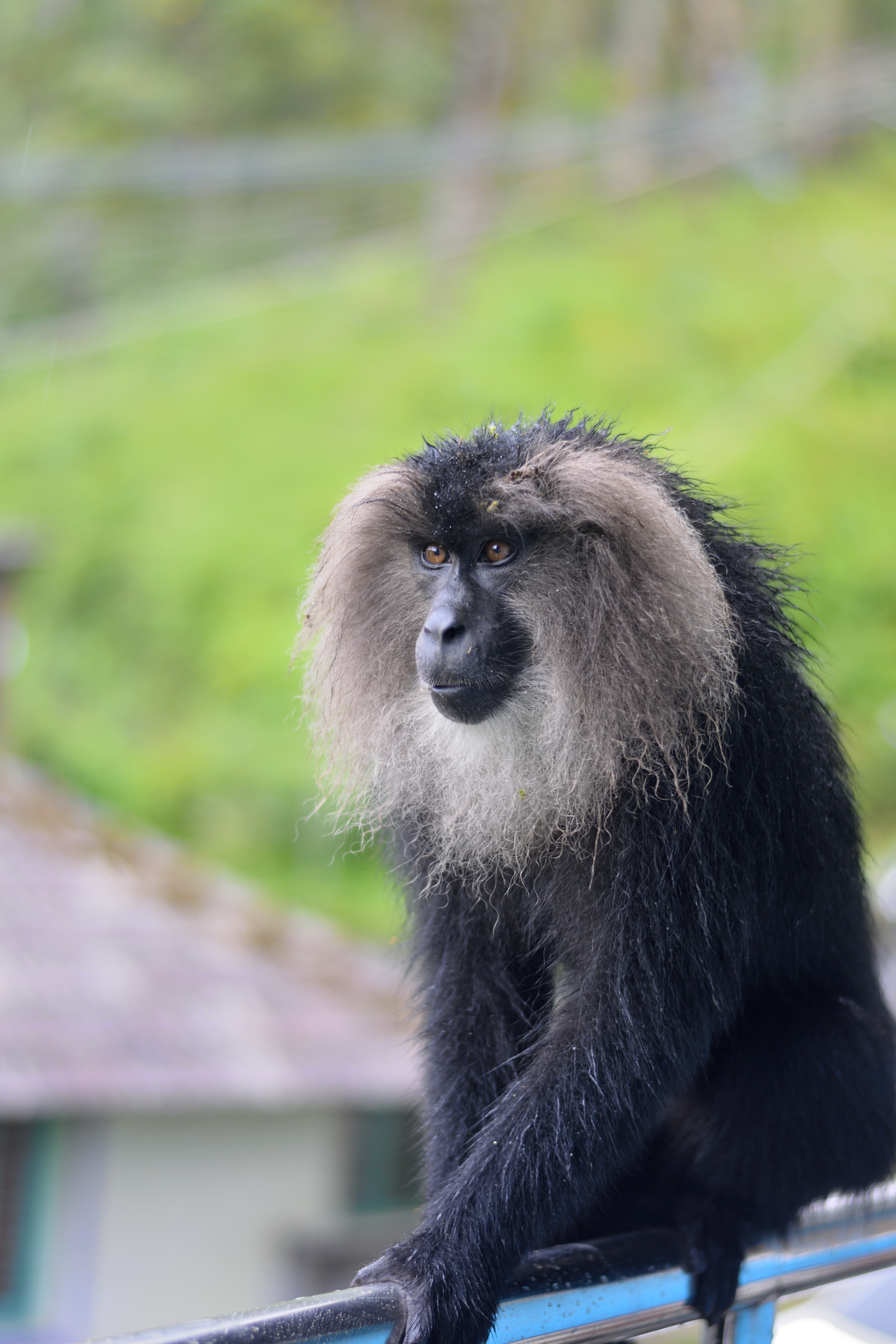 black and gray primate