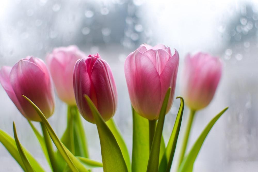 macro photography of pink tulips
