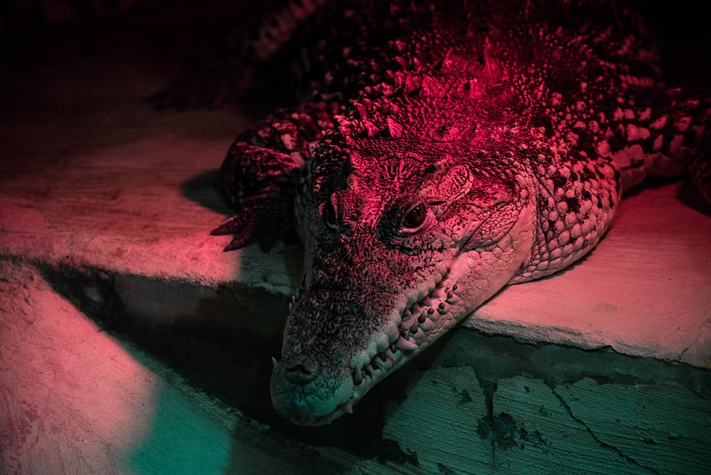 closeup photo of crocodile