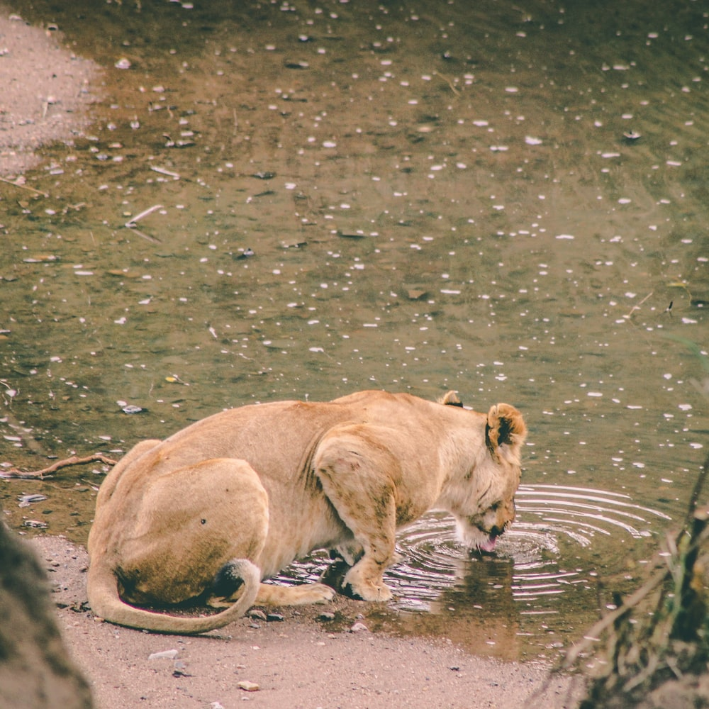 lion drinking water on river during daytime