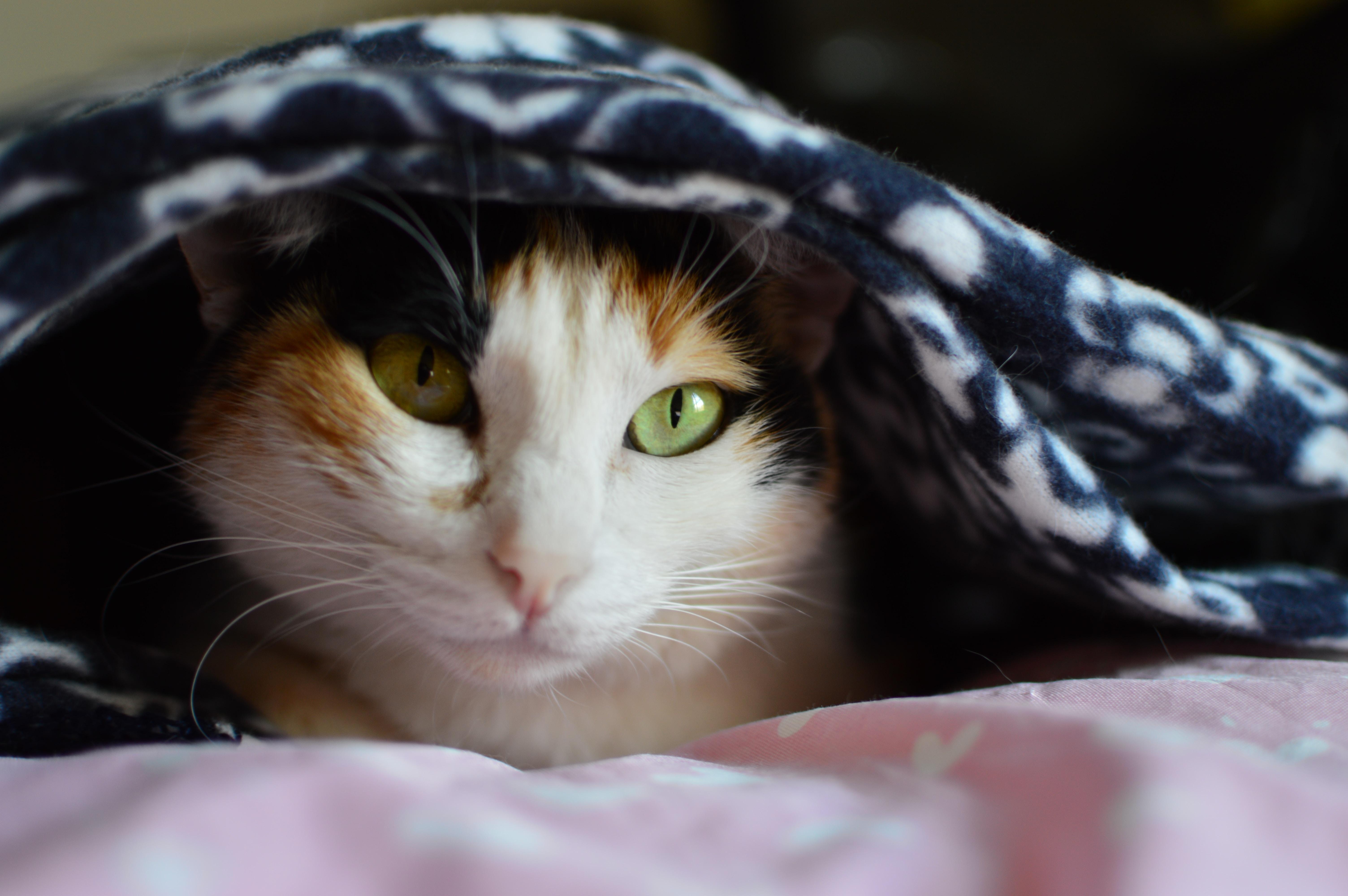 white calico cat hiding on blanket during daytime