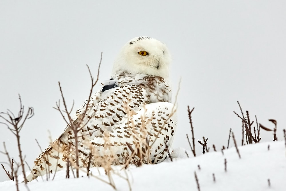 snow owl pictures download free images on unsplash