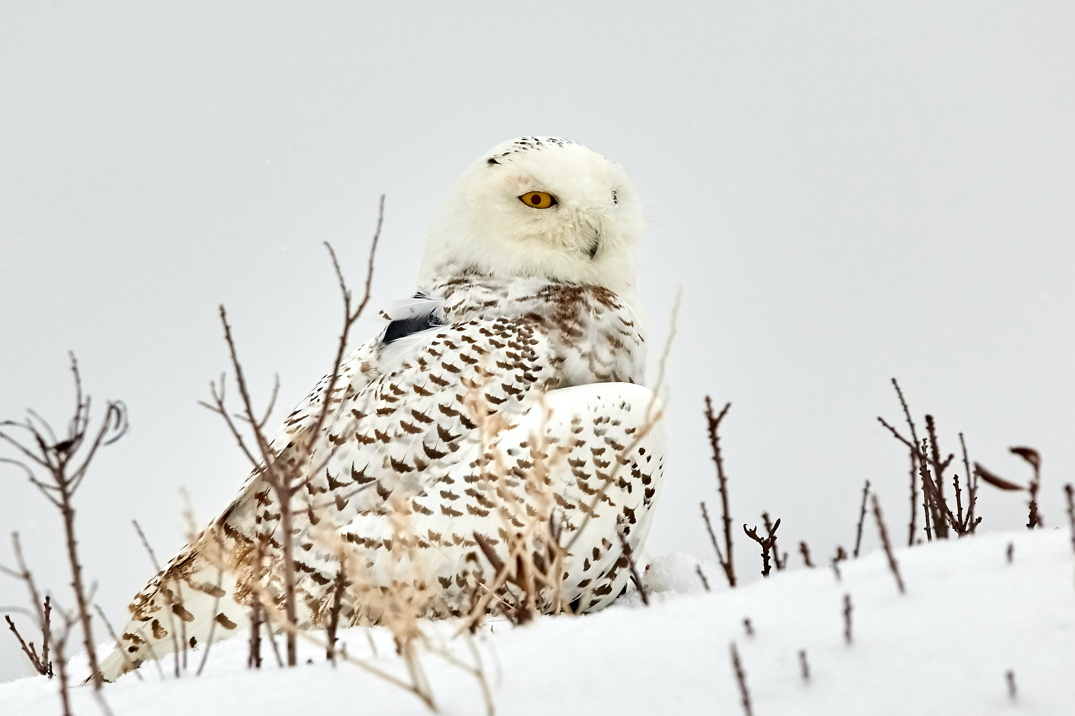 white and brown owl standing on snow