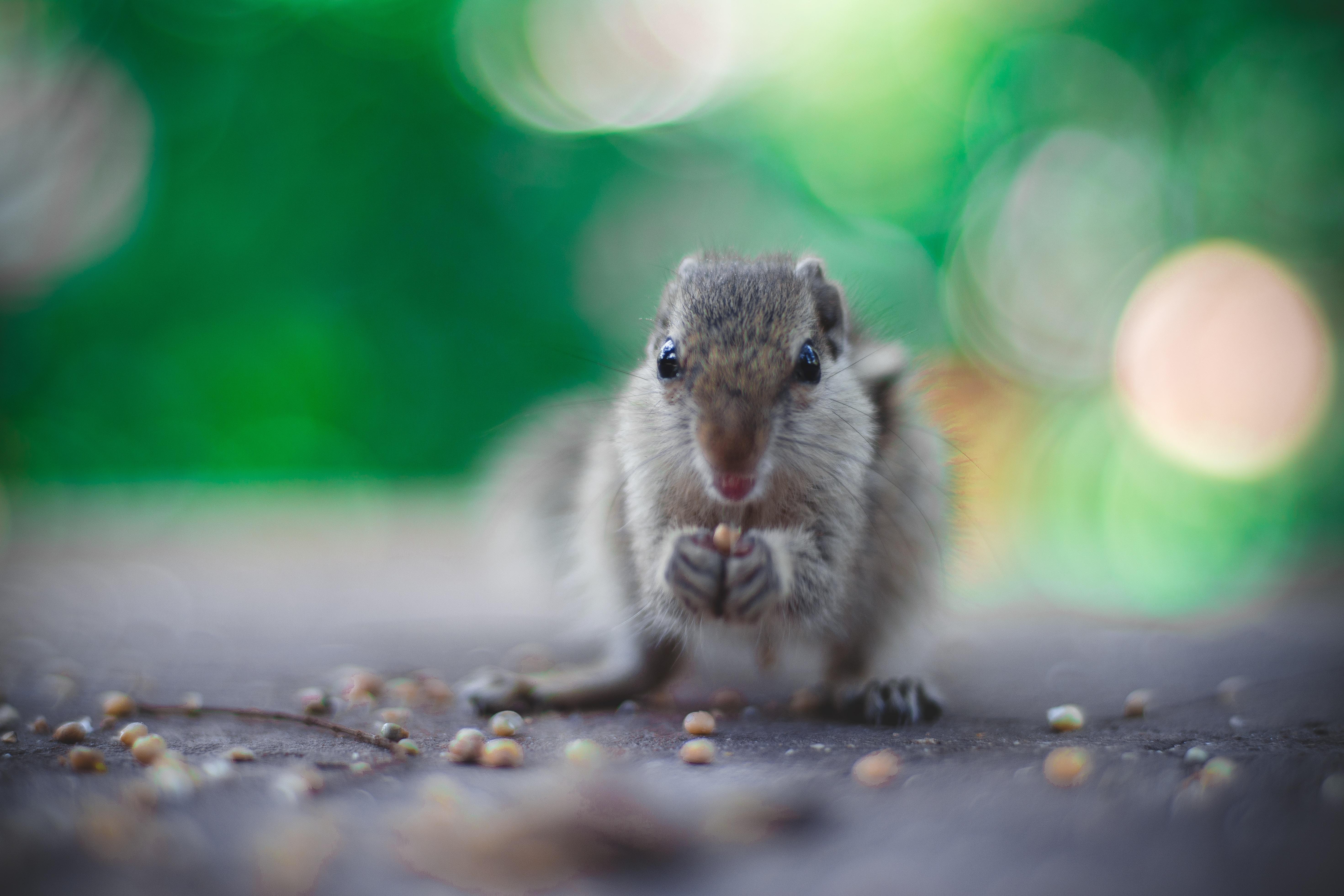closeup photo of rodent