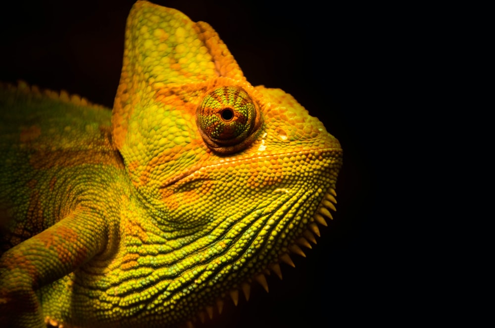 close-up photo of yellow and green lizard