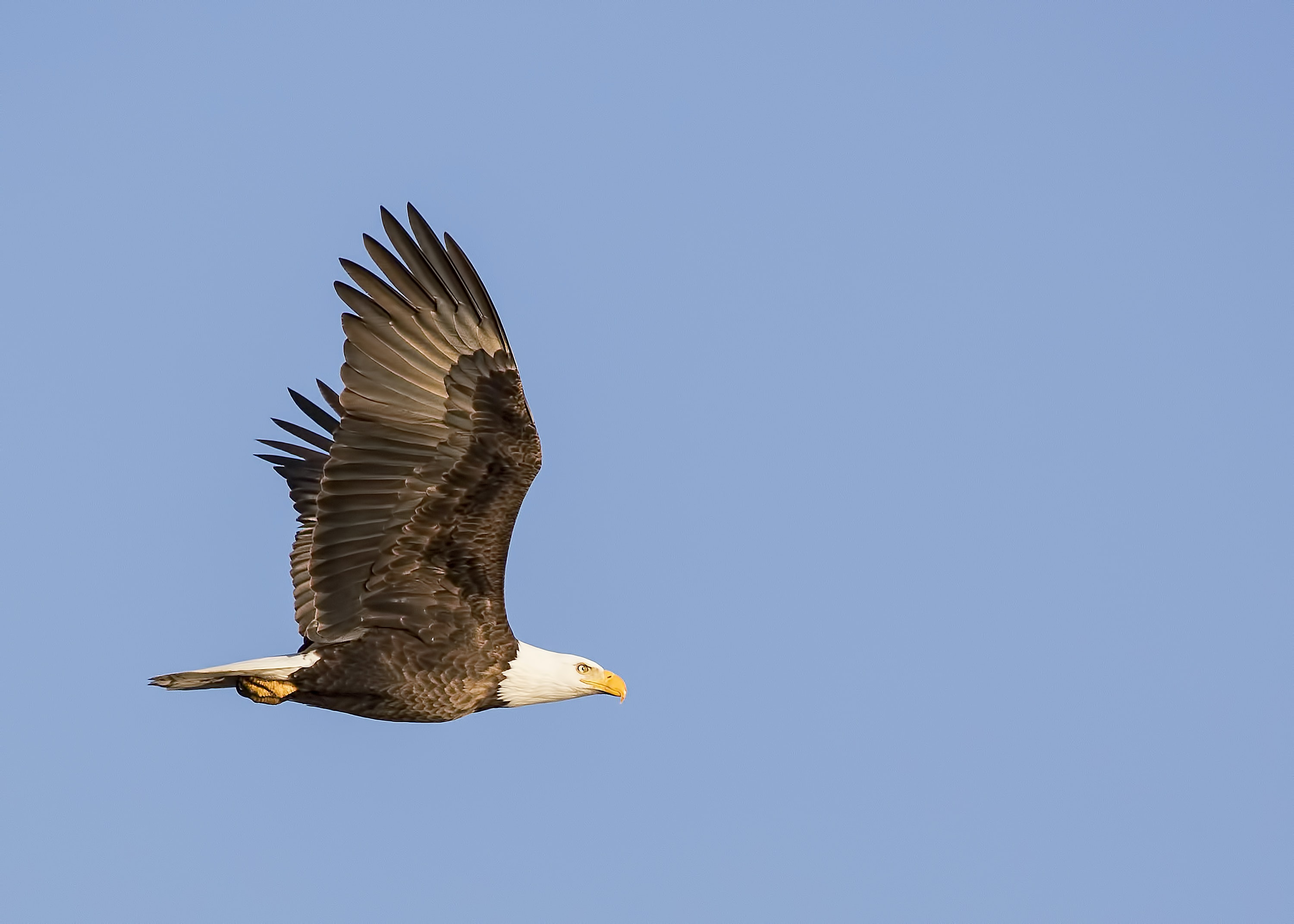photo of bald eagle flying in the sky