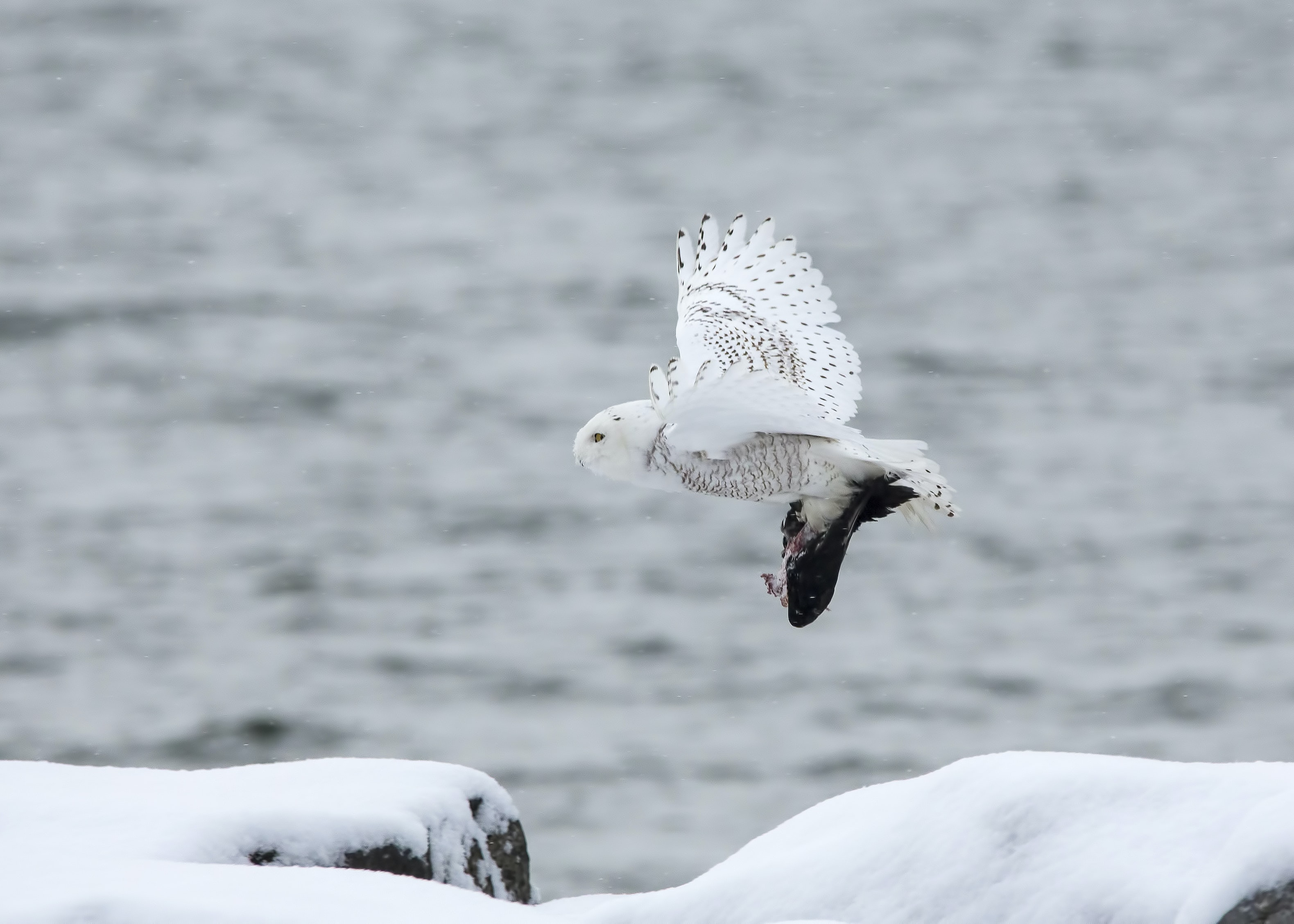 white owl flying through the sky