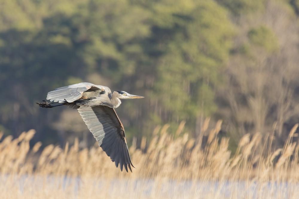 photo of pelican flying