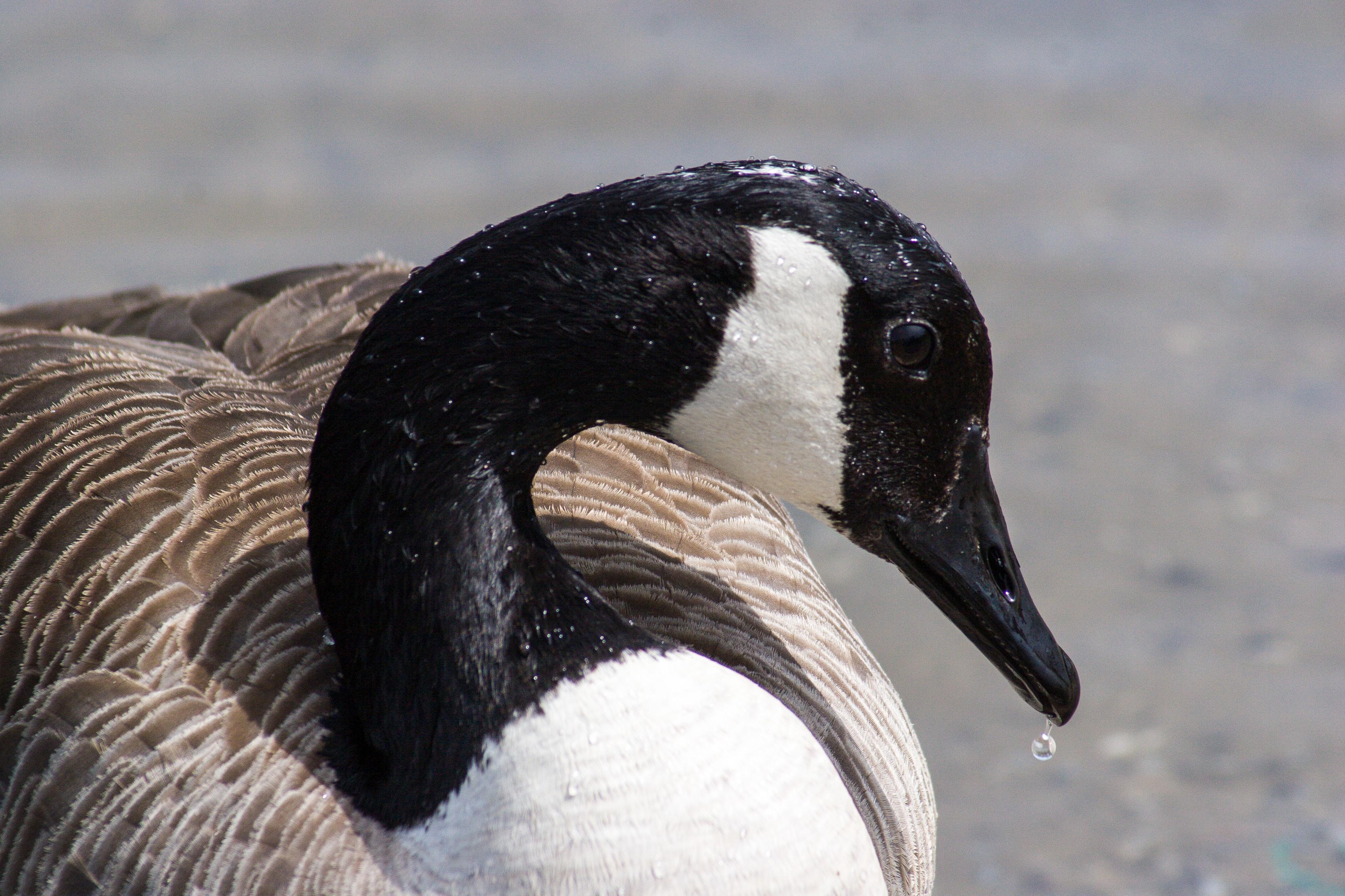 macro shot photography of white and black swan