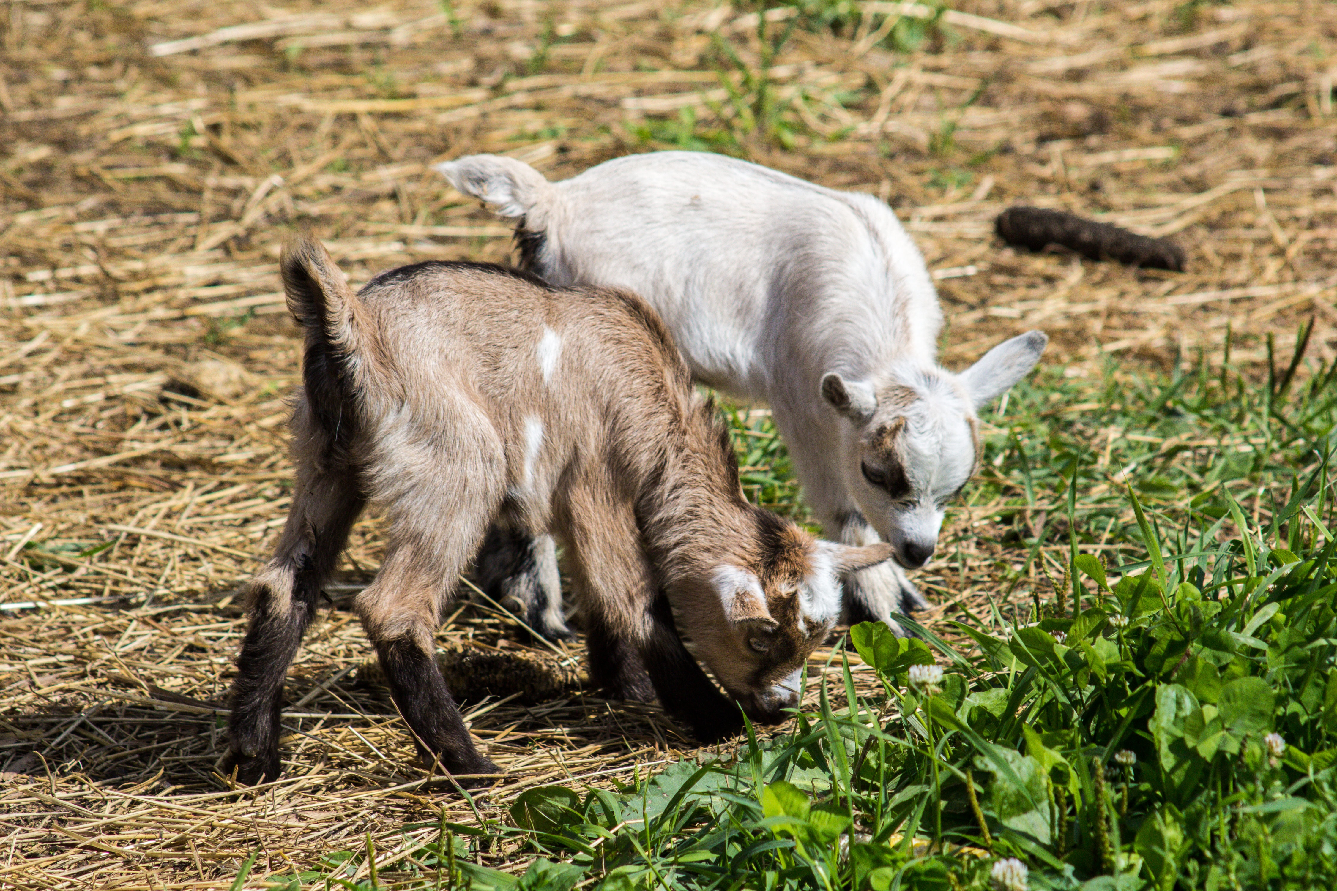 two white and brown goat kids eating grass