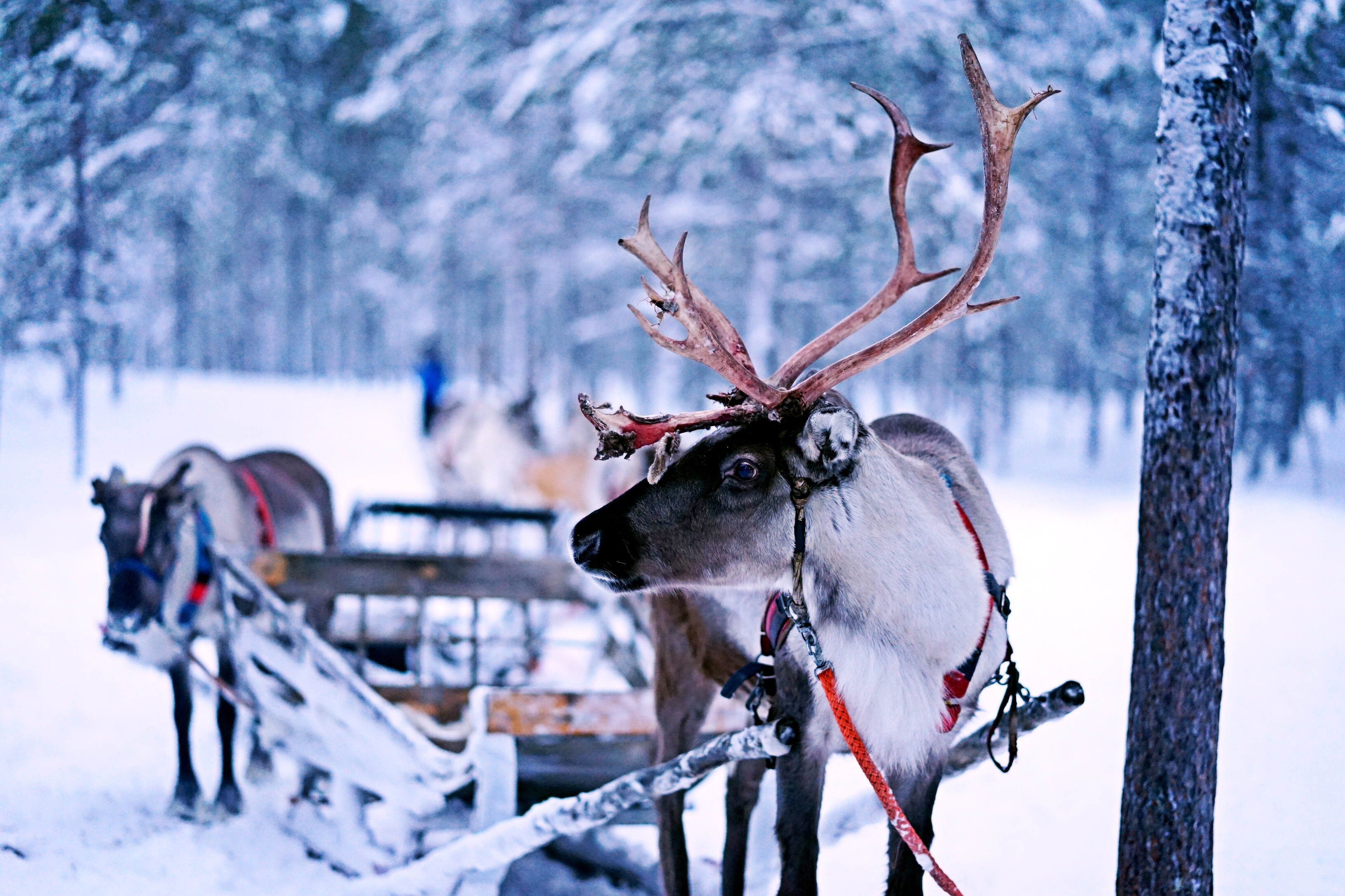 Reindeer and the sledge