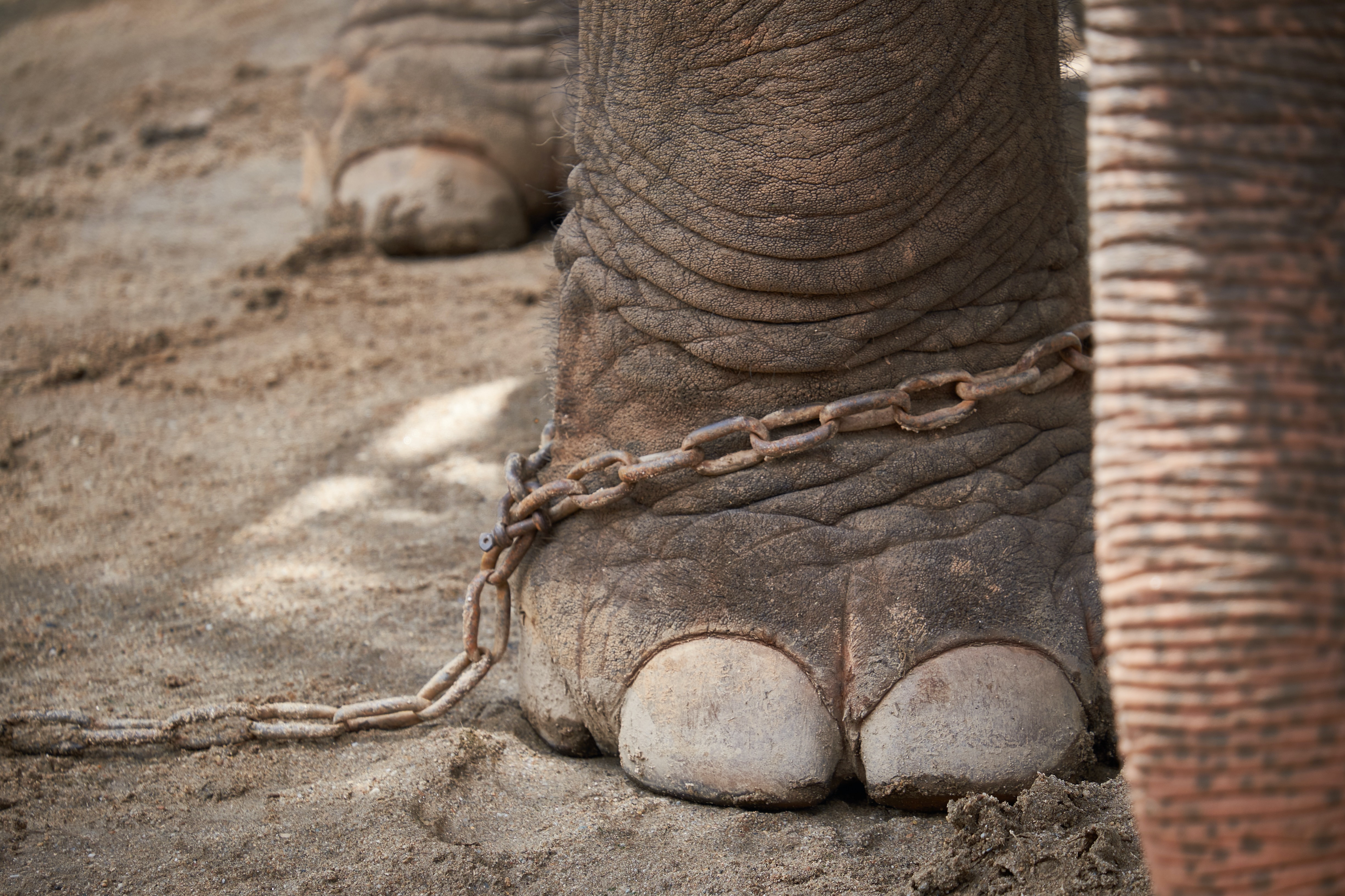 chained gray elephant's foot