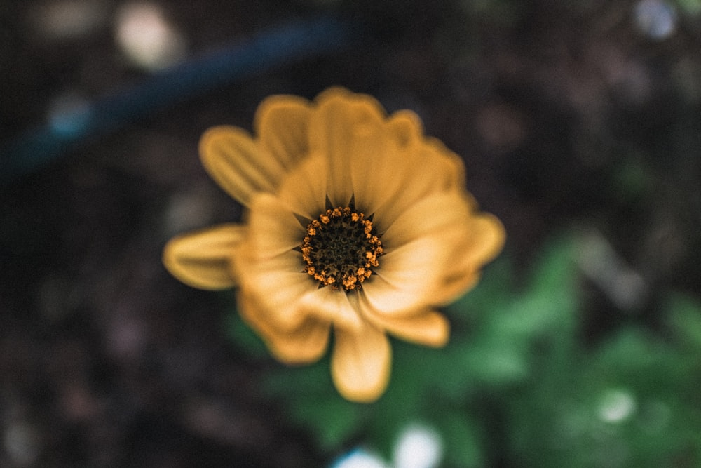selective focus of yellow petaled flower