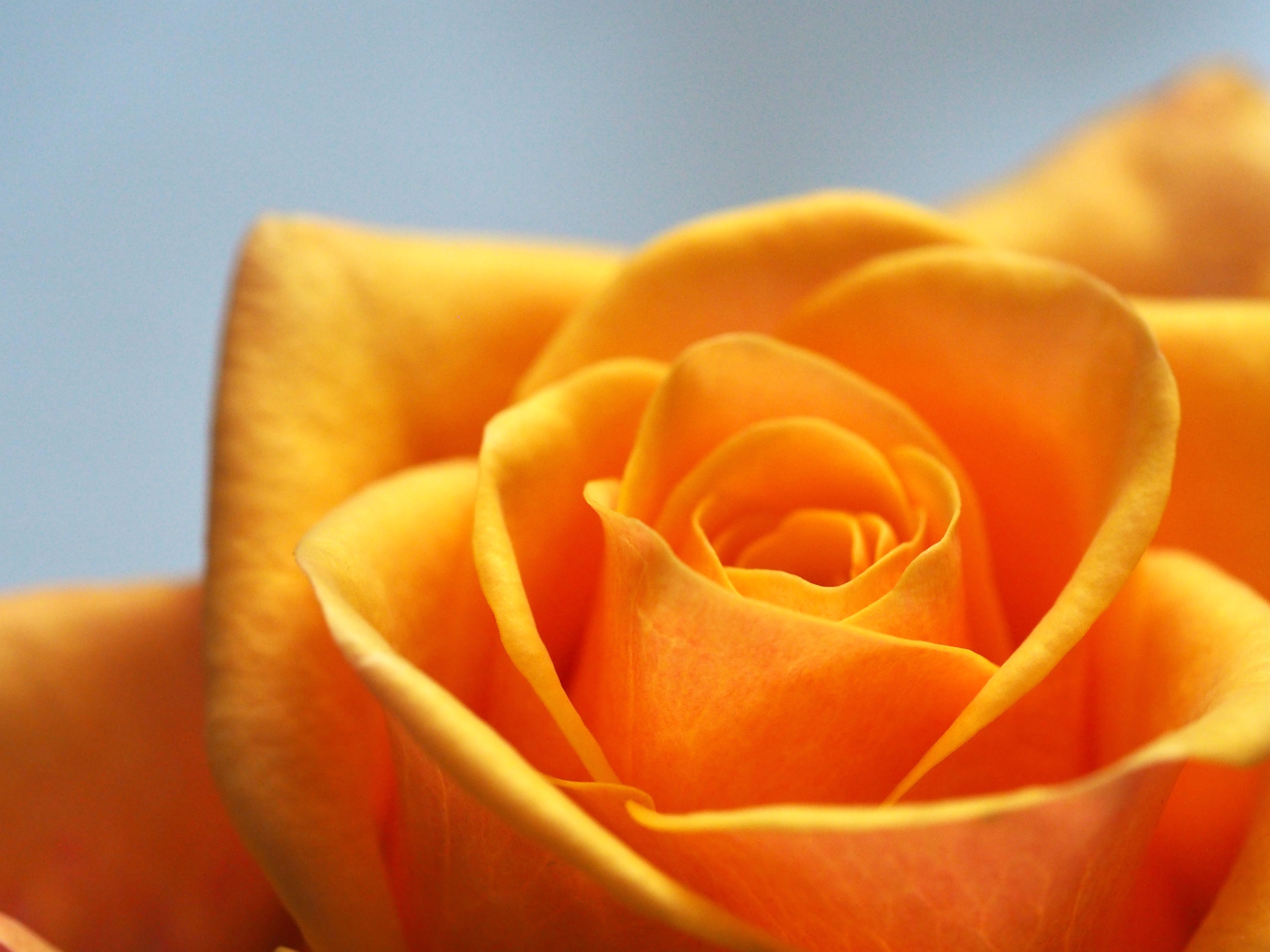 Close-up of yellow rose opening up.