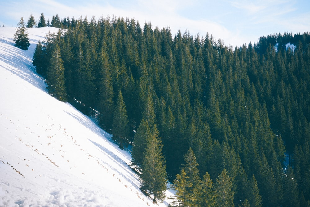 photo of green pine trees covered by snow