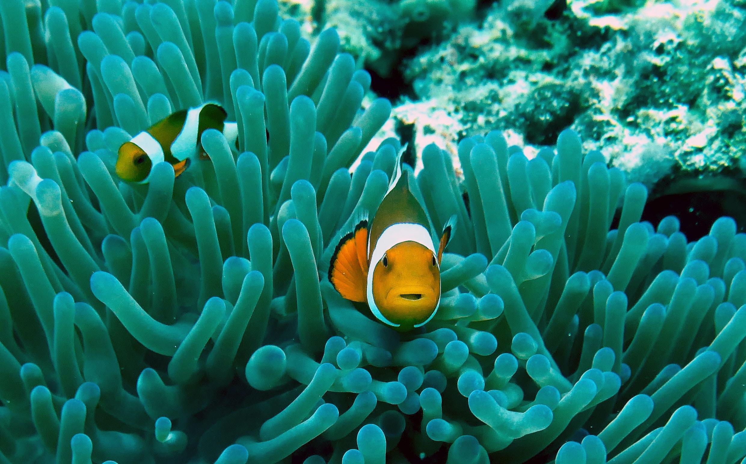 clown fish on gray anemone