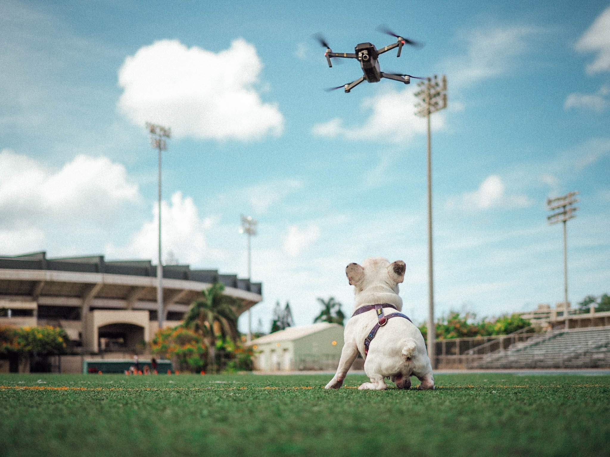 short-coated white dog staring at flying drone