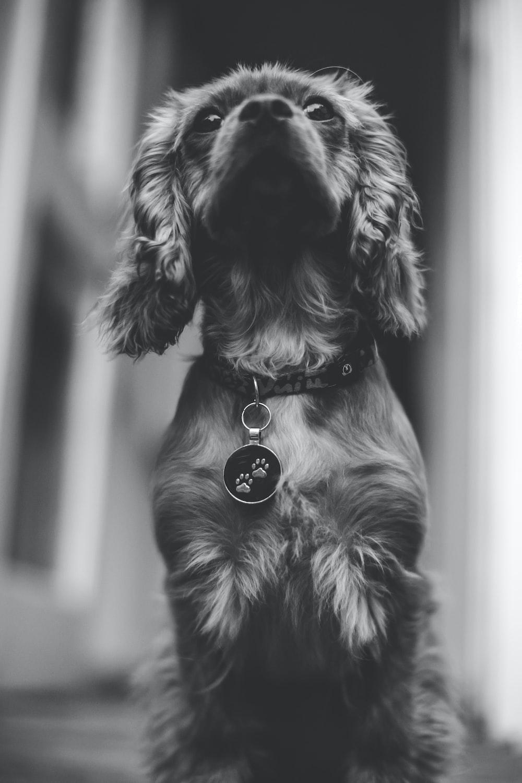 greyscale photo of short-coated dog