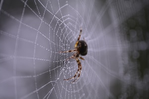 macro photography of black and brown spider on web