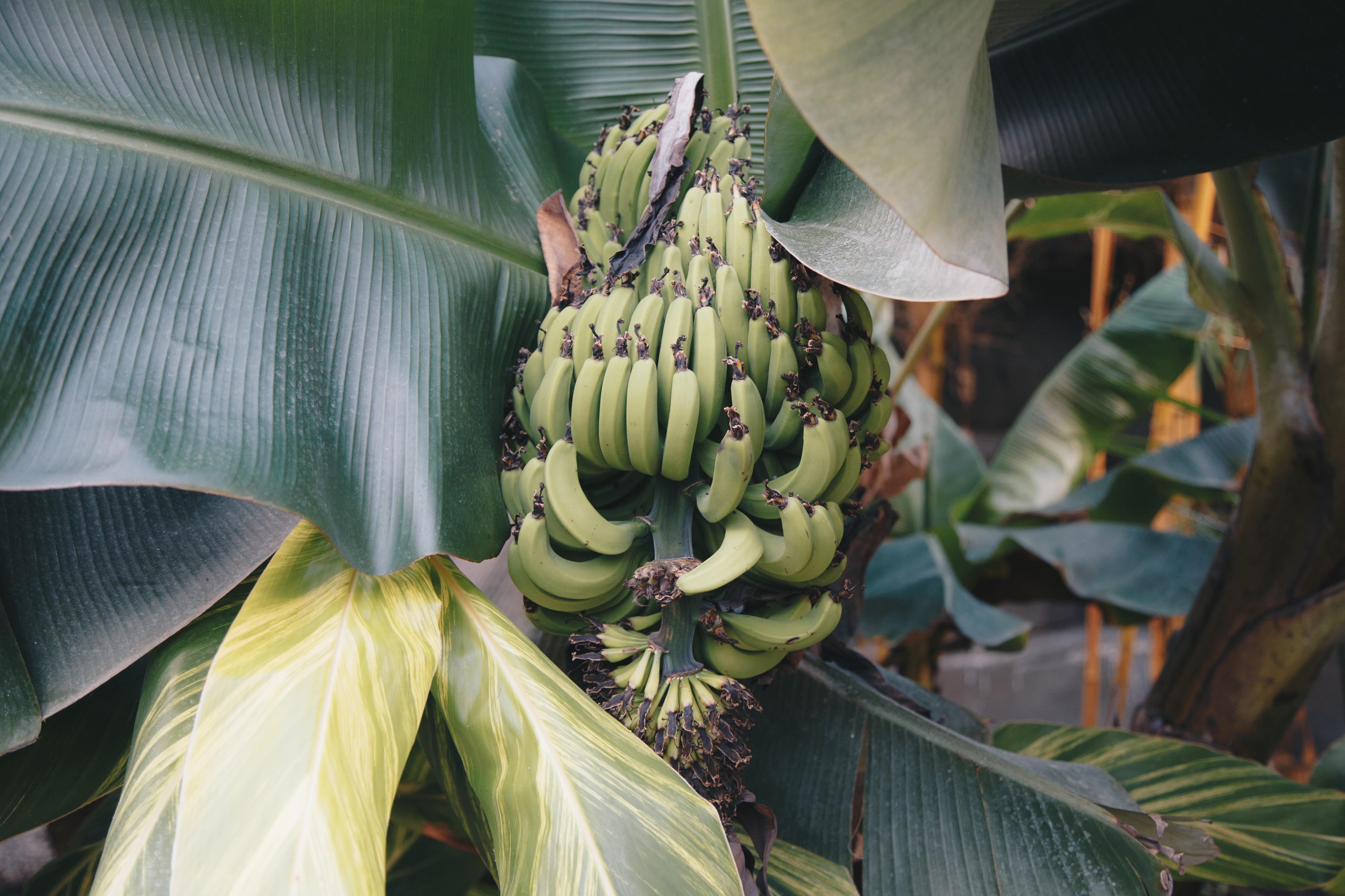 green banana tree