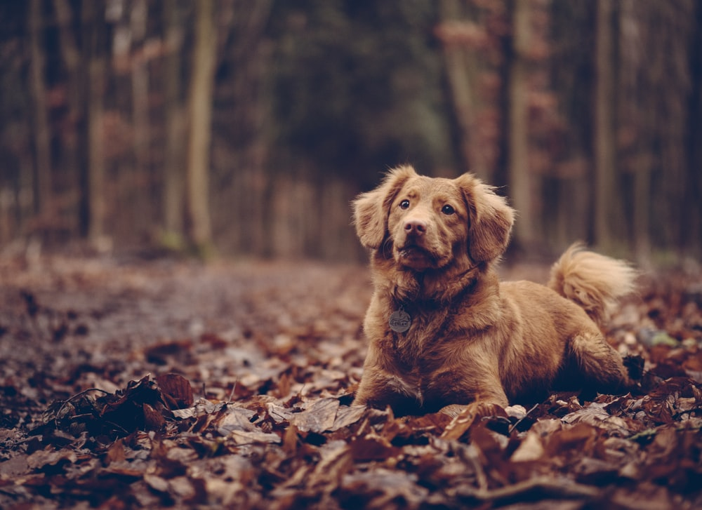 adult brown Chespeake retriever on dried leaves dog training down stay long distance down stay dog training