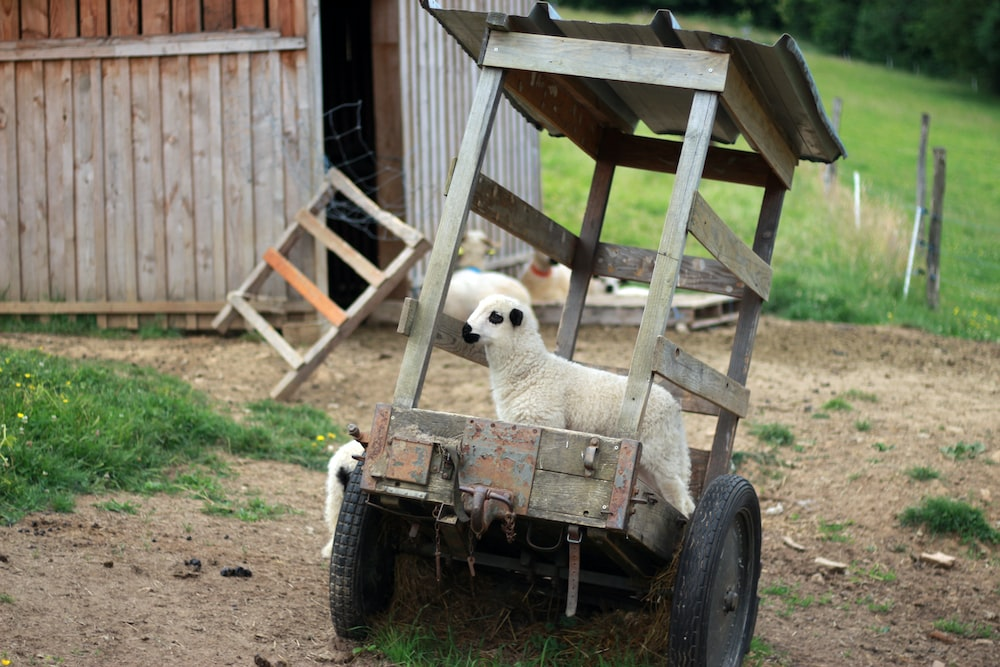 close-up photography of white goat riding on two wheeled utility cart