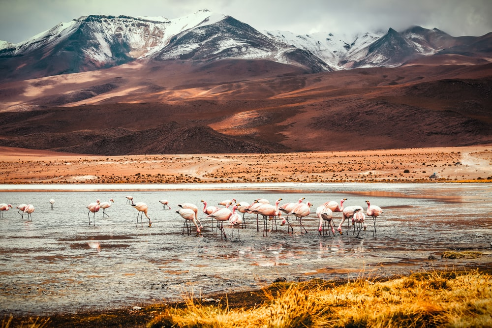 flamingos on body of water
